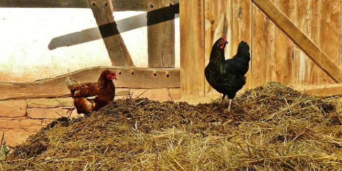 chickens-953611_960_720